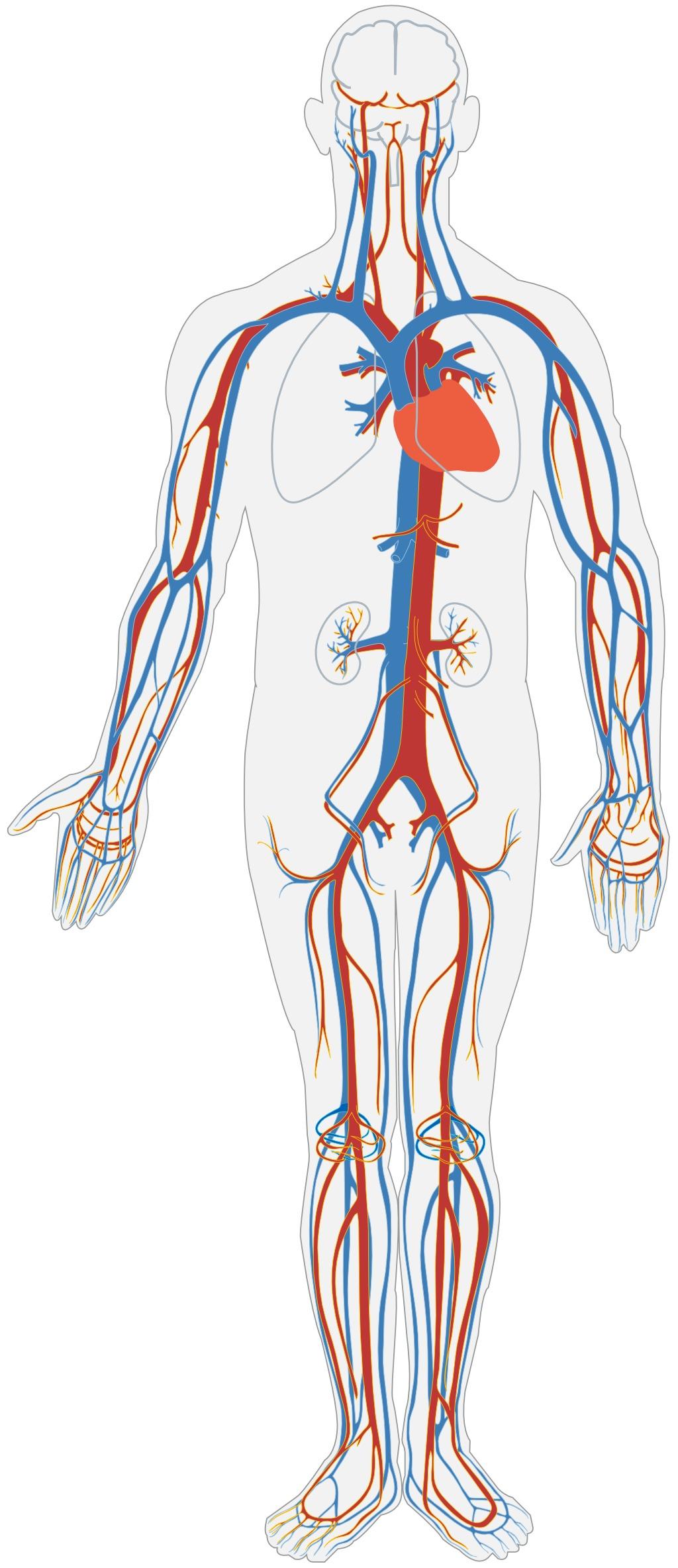 dessin circulation sanguine