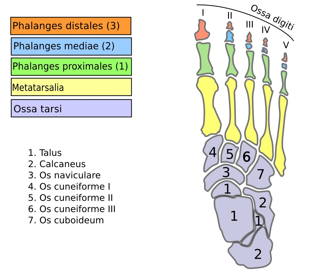os pied humain