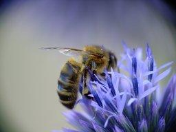 Abeille. Source : http://data.abuledu.org/URI/47f3856b-abeille