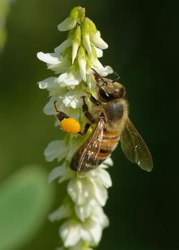 Abeille butinant. Source : http://data.abuledu.org/URI/59229abd-abeille-butinant