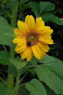 Abeille butinant un tournesol. Source : http://data.abuledu.org/URI/59097b17-abeille-butinant-un-tournesol
