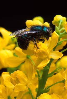 Abeille maçonne. Source : http://data.abuledu.org/URI/51c5d9ab-abeille-maconne