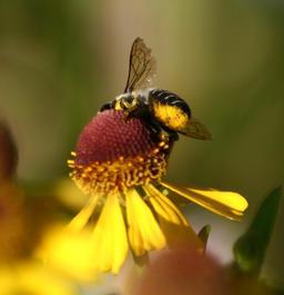 Abeille ouvrière au travail. Source : http://data.abuledu.org/URI/51e0813d-abeille-ouvriere-au-travail