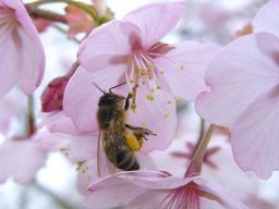 Abeille sur un cerisier. Source : http://data.abuledu.org/URI/537d242c-abeille-sur-un-cerisier