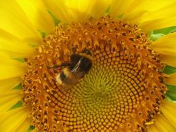Abeille sur un tournesol. Source : http://data.abuledu.org/URI/503ea2d4-abeille-sur-un-tournesol