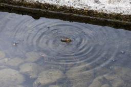 Abeille tombée dans l'eau. Source : http://data.abuledu.org/URI/54db8227-abeille-tombee-dans-l-eau