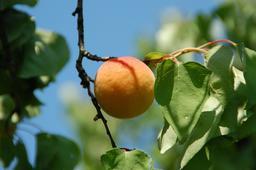Abricot. Source : http://data.abuledu.org/URI/5908f59e-abricot-