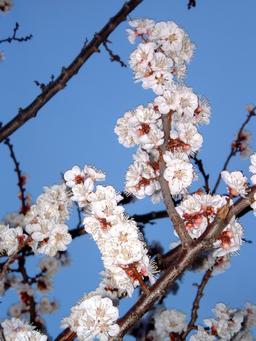 Abricotier en fleurs. Source : http://data.abuledu.org/URI/501cf463-abricotier-en-fleurs