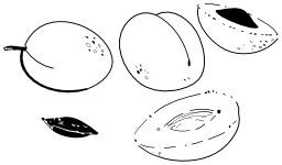 Abricots. Source : http://data.abuledu.org/URI/50206014-abricots