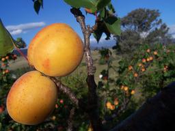 Abricots sur l'arbre. Source : http://data.abuledu.org/URI/501cf4c3-abricots-sur-l-arbre