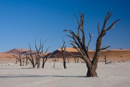 Acacias morts en Namibie. Source : http://data.abuledu.org/URI/56d5f275-acacias-morts-en-namibie