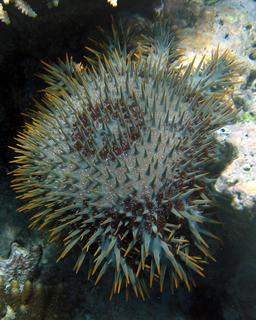 Acanthaster pourpre. Source : http://data.abuledu.org/URI/541985e4-acanthaster-pourpre