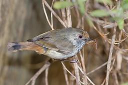 Acanthize mignon mangeant un insecte. Source : http://data.abuledu.org/URI/52b0b2ad-acanthize-mignon-mangeant-un-insecte