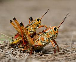 Accouplement de deux criquets américains. Source : http://data.abuledu.org/URI/53f07750-accouplement-de-deux-criquets-americains