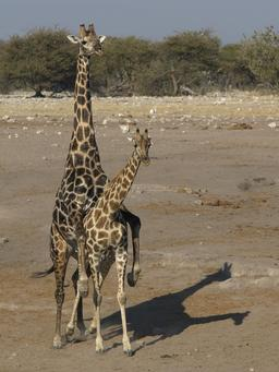 Accouplement de girafes. Source : http://data.abuledu.org/URI/534db7dc-accouplement-de-girafes-