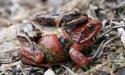 Accouplement de grenouilles rousses. Source : http://data.abuledu.org/URI/5351a360-accouplement-de-grenouilles-rousses