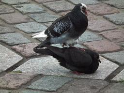 Accouplement de pigeons. Source : http://data.abuledu.org/URI/5412a063-accouplement-de-pigeons
