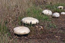 Agaric des jachères. Source : http://data.abuledu.org/URI/532d535b-agaric-des-jacheres