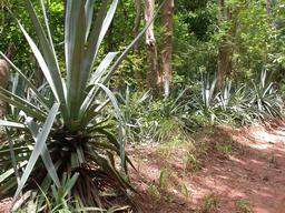 Agaves au Burkina Faso. Source : http://data.abuledu.org/URI/54870ca9-agaves-au-burkina-faso
