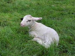 Agneau. Source : http://data.abuledu.org/URI/504dfd20-agneau