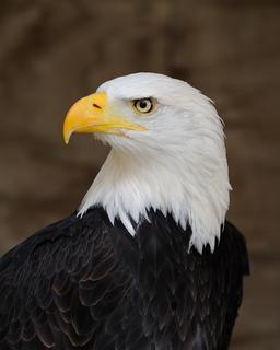 Aigle à tête blanche. Source : http://data.abuledu.org/URI/47f4e637-aigle-t-te-blanche
