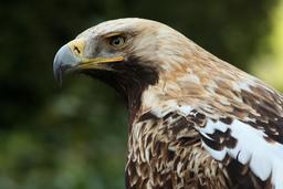 Aigle impérial. Source : http://data.abuledu.org/URI/56d5f132-aigle-imperial