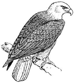 Aigle posé sur une branche. Source : http://data.abuledu.org/URI/53e9fde4-aigle-pose-sur-une-branche
