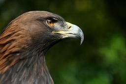Aigle royal en gros plan. Source : http://data.abuledu.org/URI/47f4e62f-aigle-royal-en-gros-plan
