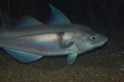 Aiglefin. Source : http://data.abuledu.org/URI/510be6af-aiglefin