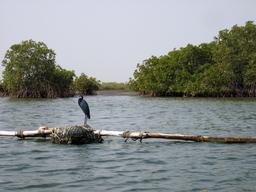 Aigrette des récifs au Sénégal. Source : http://data.abuledu.org/URI/52d57595-aigrette-des-recifs-au-senegal