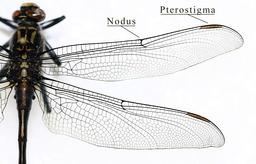 ailes de libellule. Source : http://data.abuledu.org/URI/5022ab20-ailes-de-libellule
