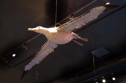 Albatros. Source : http://data.abuledu.org/URI/5856ff23-albatros