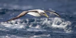 Albatros en vol en Tasmanie. Source : http://data.abuledu.org/URI/54e6467f-albatros-en-vol-en-tasmanie