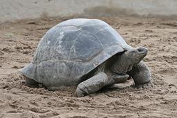 Tortue géante des Séchelles. Source : http://data.abuledu.org/URI/5047200b-aldabra-giant-tortoise-geochelone-gigantea-edit1-jpg