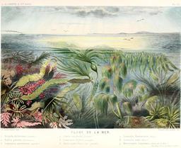 Algues brunes en 1866. Source : http://data.abuledu.org/URI/5943d2c5-algues-brunes-en-1866