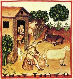Alimentation au Moyen Age : le lait de brebis. Source : http://data.abuledu.org/URI/50cb0c99-alimentation-au-moyen-age-le-lait-de-brebis