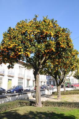 Allée d'orangers. Source : http://data.abuledu.org/URI/51df7838-allee-d-orangers