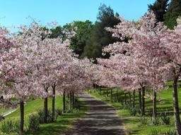 Allée de cerisiers en fleurs. Source : http://data.abuledu.org/URI/537d265b-allee-de-cerisiers-en-fleurs