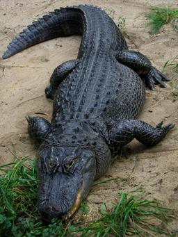 Alligator. Source : http://data.abuledu.org/URI/50feb6f3-alligator