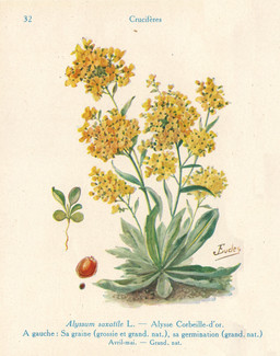 Alysse corbeille d'or de jardin. Source : http://data.abuledu.org/URI/53aca3a5-alysse-corbeille-d-or