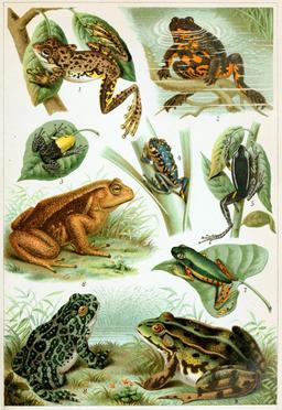 Amphibiens. Source : http://data.abuledu.org/URI/5856ef7a-amphibiens
