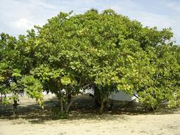 Anacardiers (noix de cajou) au Brésil. Source : http://data.abuledu.org/URI/5209e86b-anacardiers-noix-de-cajou-au-bresil