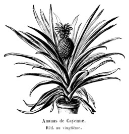 Ananas de Cayenne. Source : http://data.abuledu.org/URI/544d4019-ananas-de-cayenne