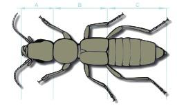 Anatomie d'un coléoptère. Source : http://data.abuledu.org/URI/54145cb6-anatomie-d-un-coleoptere