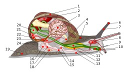 Anatomie d'un escargot. Source : http://data.abuledu.org/URI/51afa570-anatomie-d-un-escargot