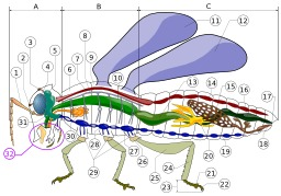 Anatomie d'un insecte. Source : http://data.abuledu.org/URI/50302186-anatomie-d-un-insecte