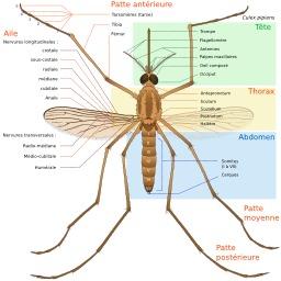Anatomie d'un moustique. Source : http://data.abuledu.org/URI/47f495ef-anatomie-d-un-moustique
