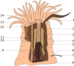 Anatomie de l'anémone. Source : http://data.abuledu.org/URI/52b0c2be-anatomie-de-l-anemone