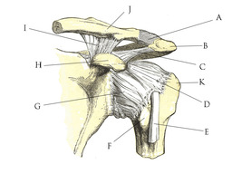 Anatomie de l'épaule. Source : http://data.abuledu.org/URI/503a6532-anatomie-de-l-epaule