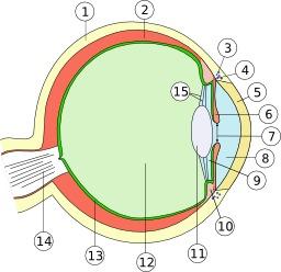 Anatomie de l'oeil humain. Source : http://data.abuledu.org/URI/50b93116-anatomie-de-l-oeil-humain